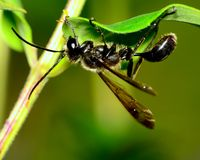Black Wasp Royalty Free Stock Images