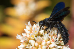 Black wasp from side Royalty Free Stock Photo