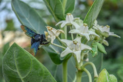 Black wasp on white flowers. Green background Stock Photos
