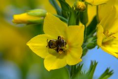Wasp in a yellow flower. Black wasp in a yellow flower loosestrife point Lysimachia punctata stock photo