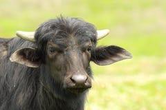 Black water buffalo portrait Stock Images