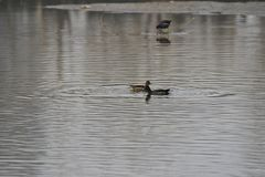 Black water chicken in the lake. Moorhen scientific name: Gallinula chloropus is the Gruiformes ralline birds. The head has a frontal armour, the back margin is Stock Photography