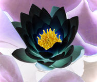 Black water lily Stock Photos