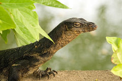 Black Water Monitor Stock Photography