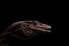 Black Water Monitor Lizard Royalty Free Stock Images