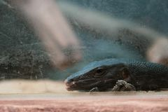 Black Water Monitor`s head. Background royalty free stock image