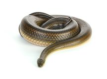 Black water snake Stock Images