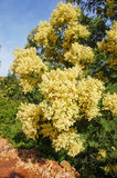 Black wattle tree Royalty Free Stock Photos