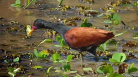 Black Wattled Jacana in Bolivian Rainforest, South America stock image