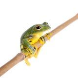 Black-webbed flying tree frog isolated on white Stock Photos