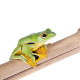 Black-webbed flying tree frog isolated on white Royalty Free Stock Photos