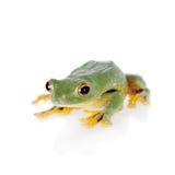 Black-webbed flying tree frog isolated on white Royalty Free Stock Image