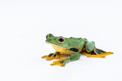 Black-webbed flying tree frog, Rhacophorus kio, on white backgro Royalty Free Stock Images