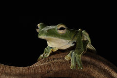 Black Webbed Glider Tree frog Royalty Free Stock Images