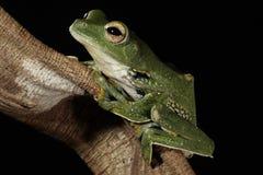 Black Webbed Glider Tree frog Stock Image