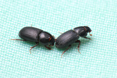Black Weevils Stock Image