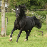 Black welsh cob running on pasturage Royalty Free Stock Image