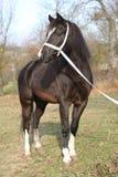 Black welsh mountain pony Royalty Free Stock Photo