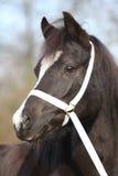Black welsh mountain pony Royalty Free Stock Image