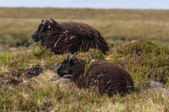 Black Welsh Mountain sheep in Scotland. Stock Images