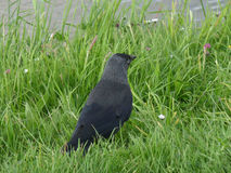 Black Western Jackdaw Bird Relaxing on the Green Grass by the River. Nature Beauty Royalty Free Stock Photos