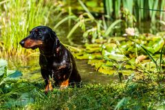 A black wet dachshund dog getting out of the pond with water lilies royalty free stock images