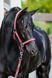 Black wet horse Stock Image