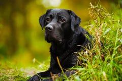 Black wet labrador Royalty Free Stock Photo