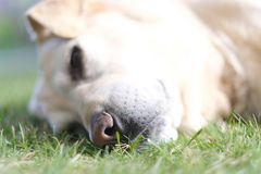 Black wet nose of a large breed dog Royalty Free Stock Images