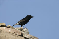 Black wheatear Oenanthe leucura Stock Photo