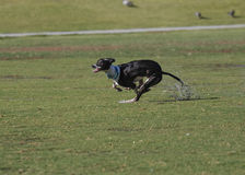 Black Whippet running Royalty Free Stock Images