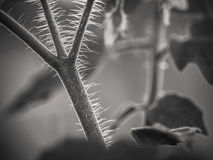 Black&white завода томата Стоковое фото RF