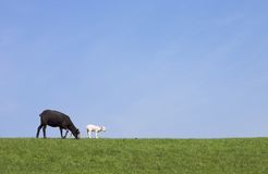 Black and white. A black and a white sheep against a blue sky Stock Photos