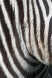 Black & White. Zebra up close: black & white stripes pattern stock photo