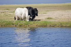 Black & white. Pair of Yaks on mongolian lake shore Royalty Free Stock Image