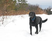 Black and White. Black labrador retriever standing in deep, white, winter snow Royalty Free Stock Photography