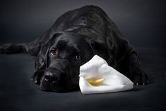 Black and white. Black labrador and white calla lily Royalty Free Stock Photography