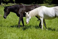 Black and white. A black and a white horse at the paddock in Helmstadt in Germany Royalty Free Stock Image