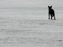 Black in white. Dog on ice royalty free stock photography