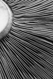 Black and white abstract art created from a mushroom heard. Close up shot of a mushroom head for artistic design stock photo