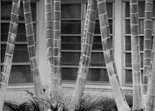 Black and white abstract of ringed palm tree trunks against lines of paned glass windows Royalty Free Stock Image
