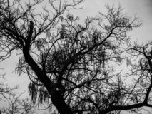 Black and white acacia tree silhouette photo, cloudy autumn evening. stock photography