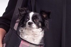 Black and white accessories dog chihuahua Stock Photography