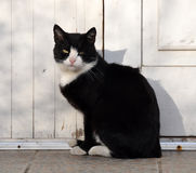 Black and white adult cat, animal shelter. Portrait of a black and white adult cat. Cat sitting on the ground Royalty Free Stock Photo