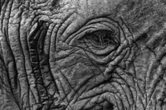 Black and white Africa. Detail of big elephant. Wildlife scene from nature. Art view on nature. Eye close-up portrait of big. Mammal, Etosha NP, Namibia in royalty free stock images