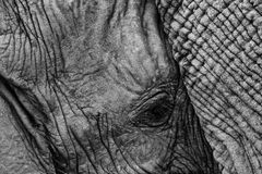 Black and white Africa. Young elephant with mother. Detail of big animal. Wildlife scene from nature. Art view on nature. stock photos