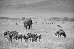 Black and white african elephant and blue wilebeest. Black and white image of an african elephant, Loxodonta Africana, walking in the middle of a herd of blue stock image