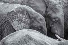 Black and white african elephants detail image background stock photo
