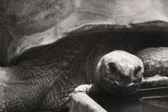 A black and white Aldabra tortoise eating in a zoo Royalty Free Stock Images