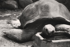A black and white Aldabra tortoise eating in a zoo Stock Photo